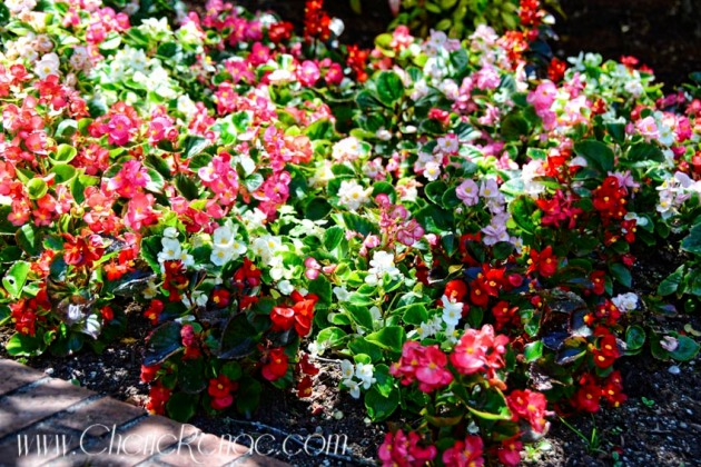 I still don't like impatiens. They look too real, or not real at all. They look too good to be true.